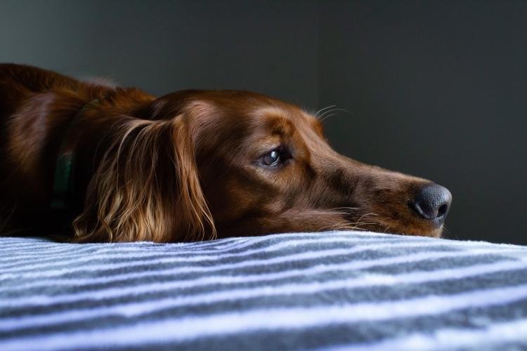 Brown Dog Resting