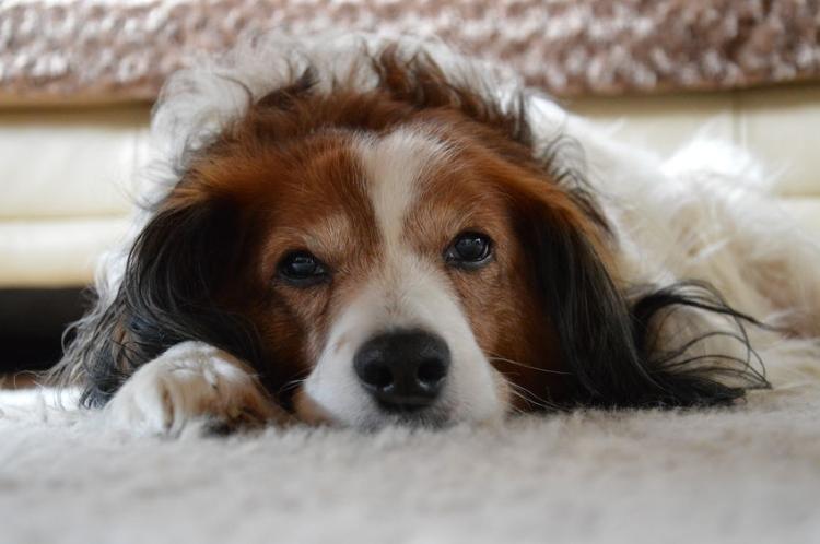 Shaggy Dog on Carpet